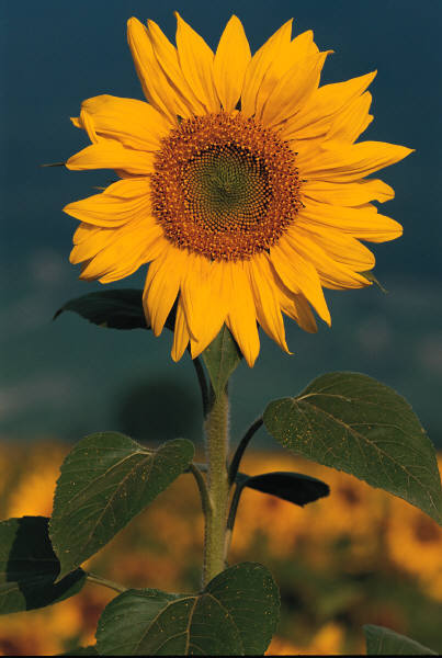 sunflower growing in the sun
